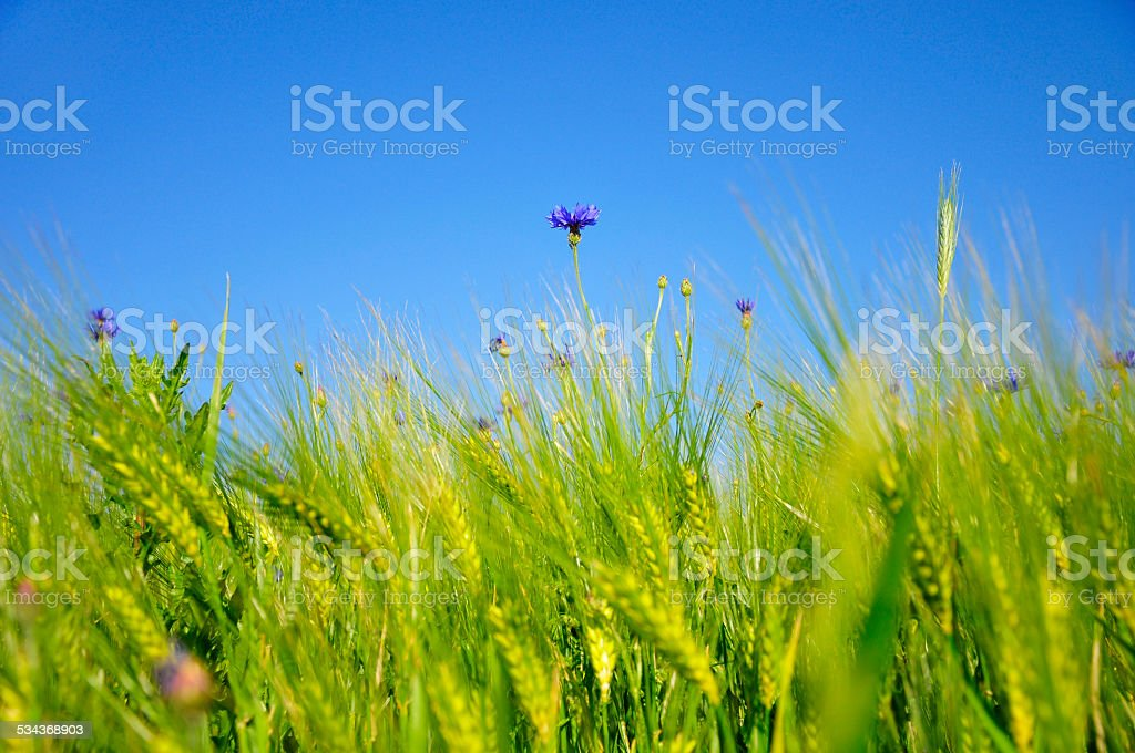 blue cornflower growing out of a wheat feald stock photo