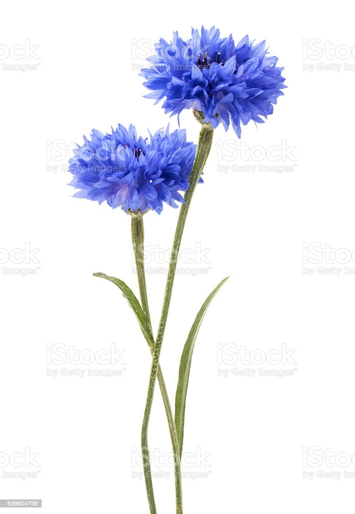 Blue Cornflower Herb or bachelor button flower head isolated stock photo