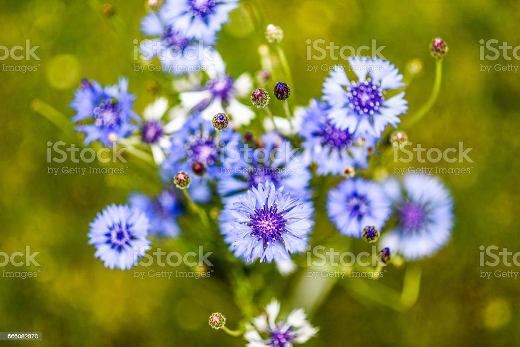 Blue cornflower in garden stock photo