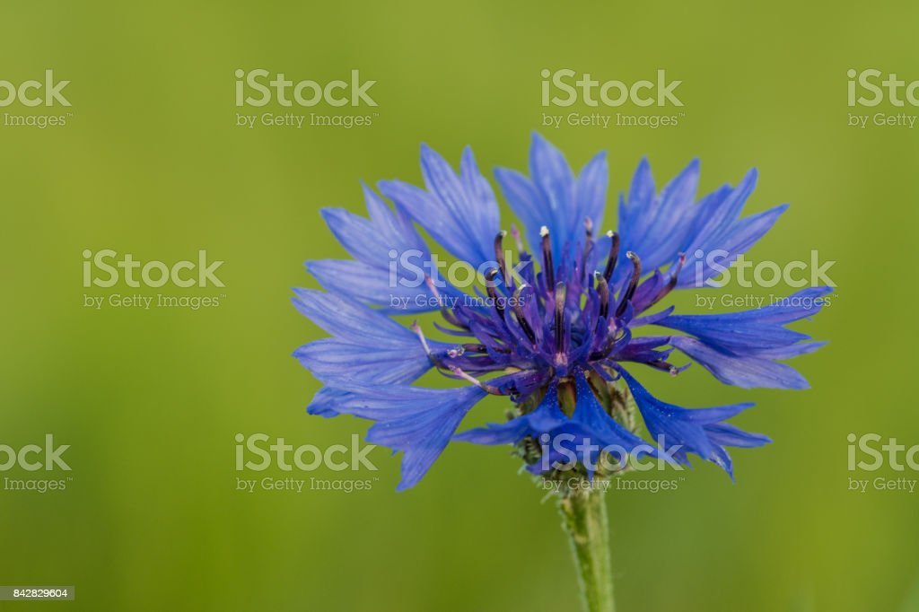 Blue cornflower on green background. Centaurea cyanus. stock photo