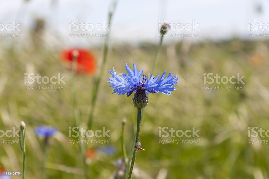Blue cornflower royalty-free stock photo