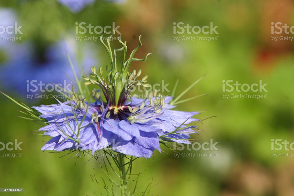 blaue Kornblume (Centaurea cyanus) stock photo