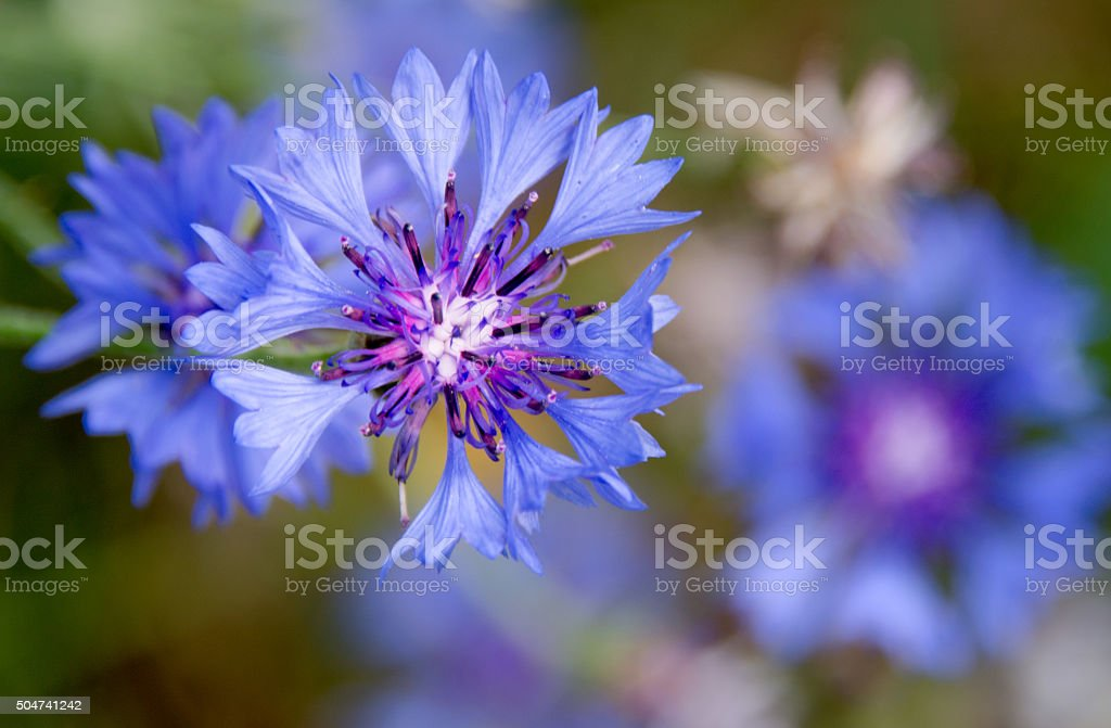 Blue cornflower stock photo