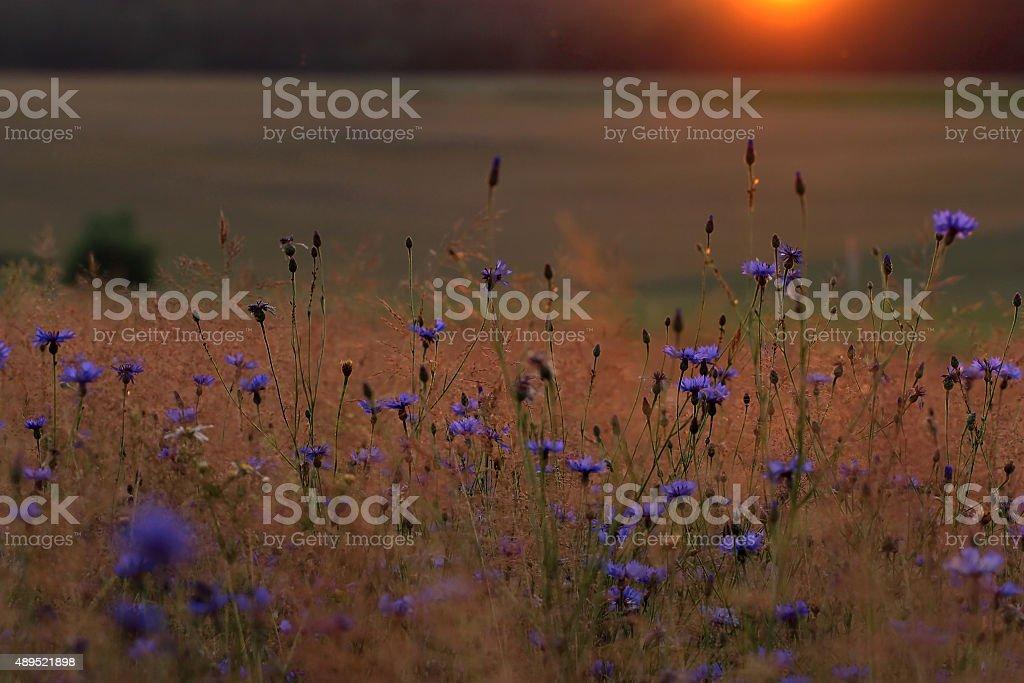 Blue cornflower with golden ripe wheat in field stock photo