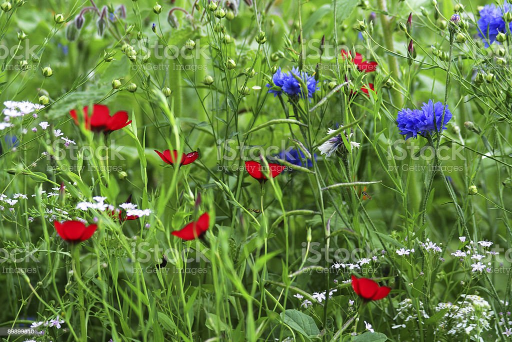 Blue cornflowers and red flax in a summer meadow royalty-free stock photo