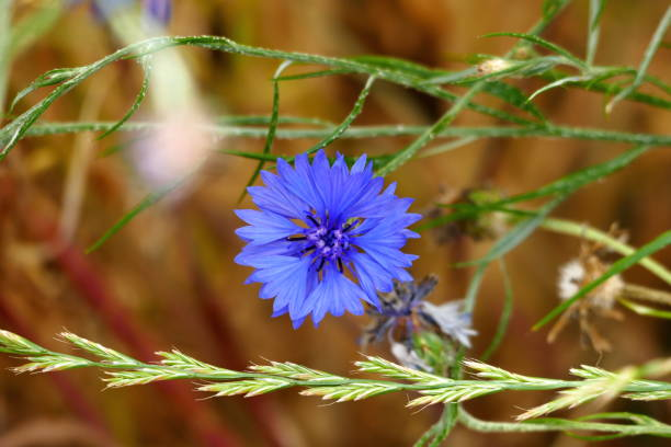 Blaue Kornblumen (Centaurea cyanus) in einem Gerstenfeld – Foto