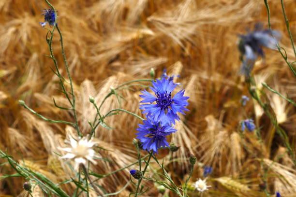 Blue cornflowers (Centaurea cyanus) in a barley field stock photo