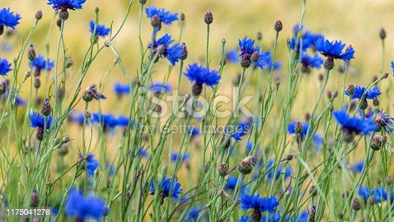 istock Blue cornflowers (Centaurea cyanus) in a green meadow 1175041276
