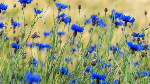 Blue cornflowers (Centaurea cyanus) in a green meadow stock photo