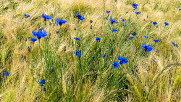 Blaue Kornblumen (Centaurea cyanus) in einem Roggenfeld – Foto
