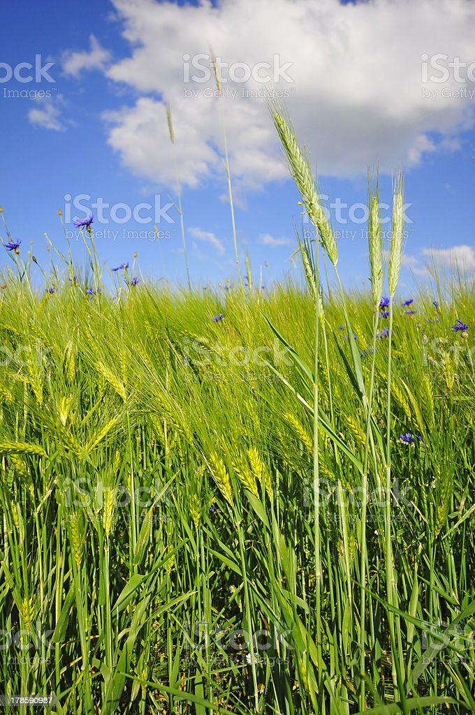 blue cornflowers in a wheat field royalty-free stock photo