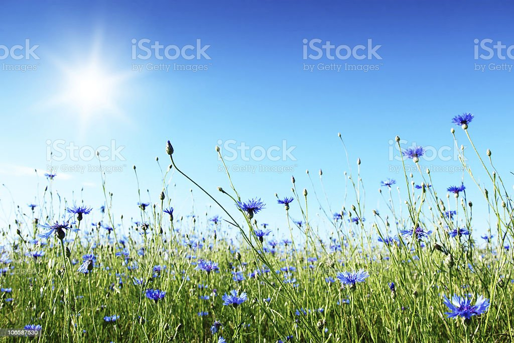 Blue cornflowers in wheat field. stock photo