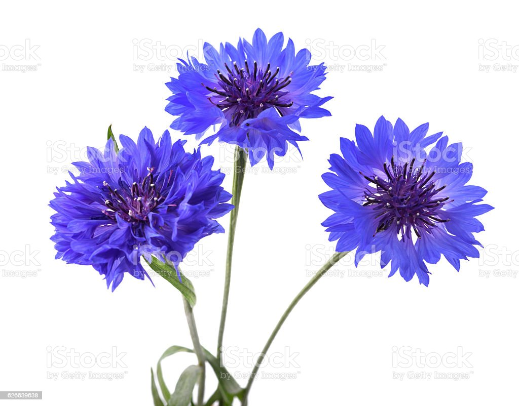 Blue cornflowers isolated - Photo