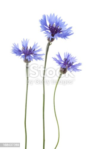 Blue Cornflower Flowers arranged in a row isolated on white background with shallow depth of field.