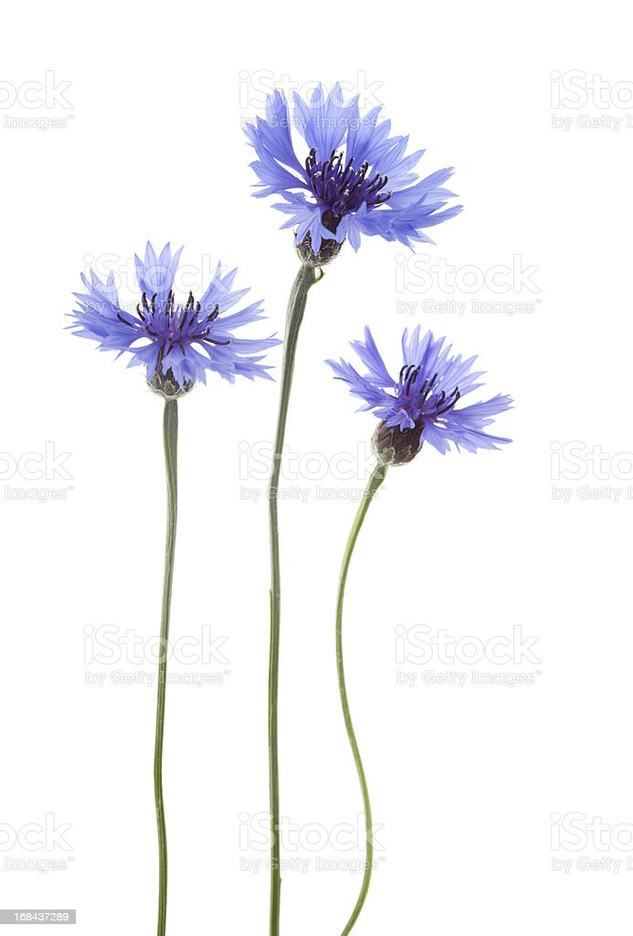 Blue Cornflowers ( Centaurea cyanus ). stock photo