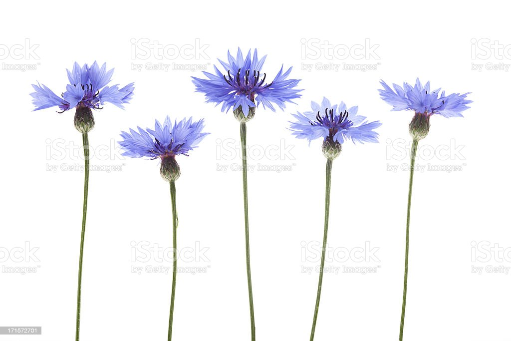 Blue Cornflowers (Centaurea cyanus) stock photo