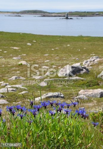 closeup of blue cornflowers in a meadow, Saint Pierre Island in the background, Ile aux Marin Saint Pierre and Miquelon