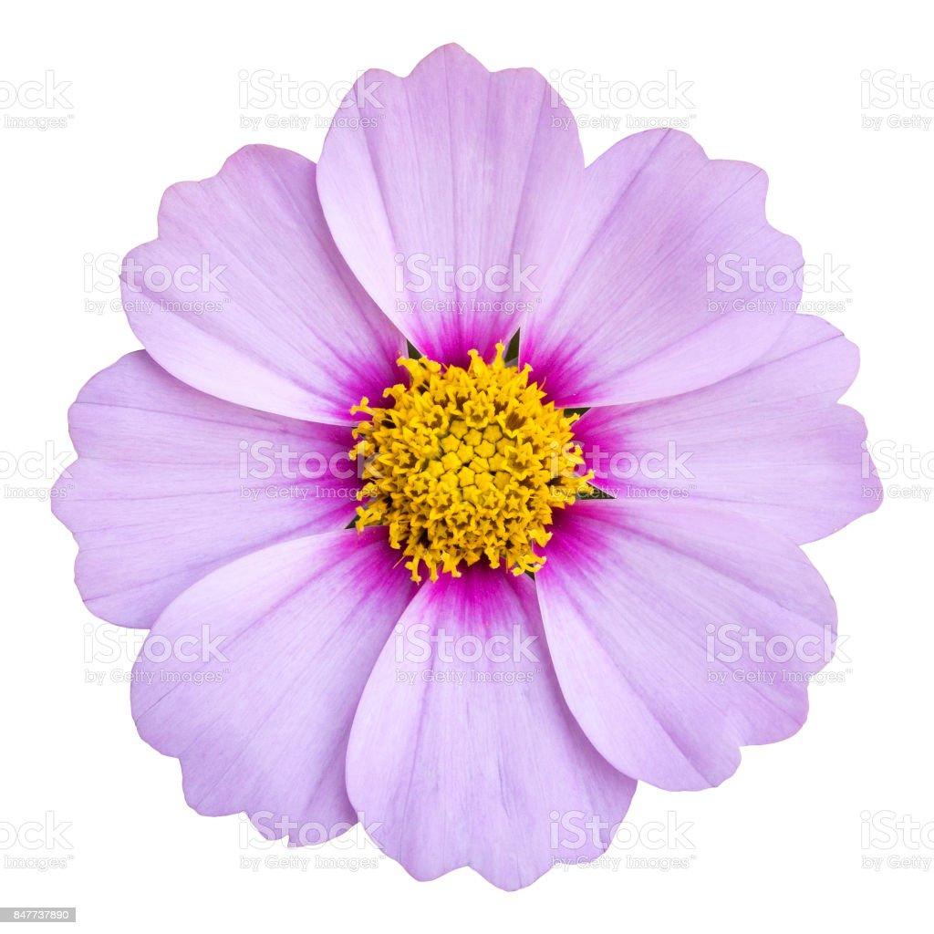 blue cosmos flower isolated on white with clipping path stock photo