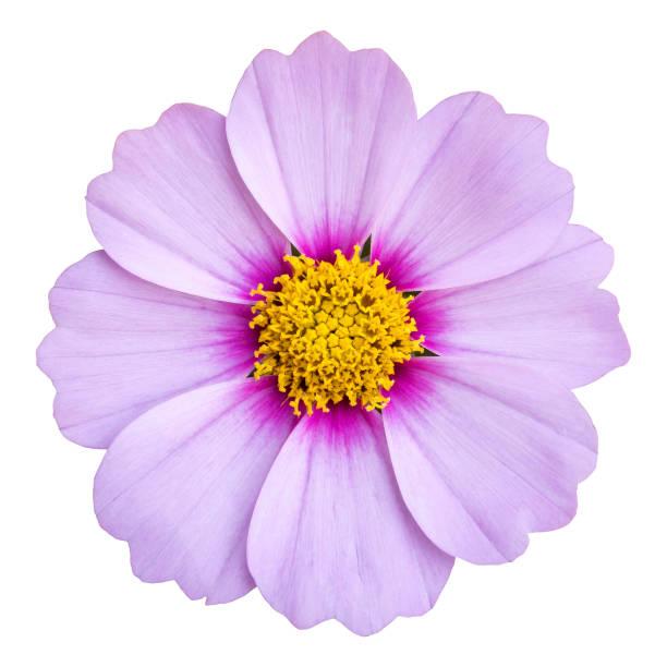 flor cosmos azul aislado en blanco con trazado de recorte - flor fotografías e imágenes de stock