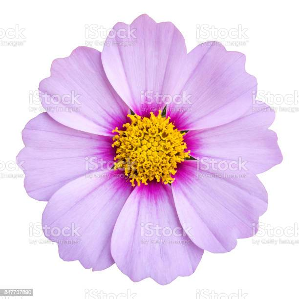 Photo of blue cosmos flower isolated on white with clipping path