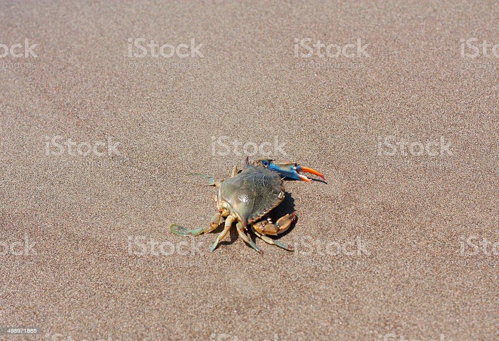 Blue crab, Callinectes sapidus in sand photo stock photo