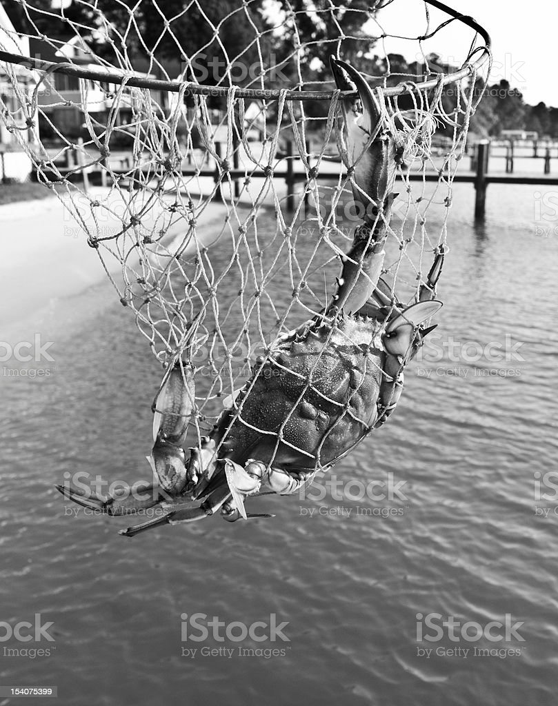 Blue Crab in Black & White stock photo