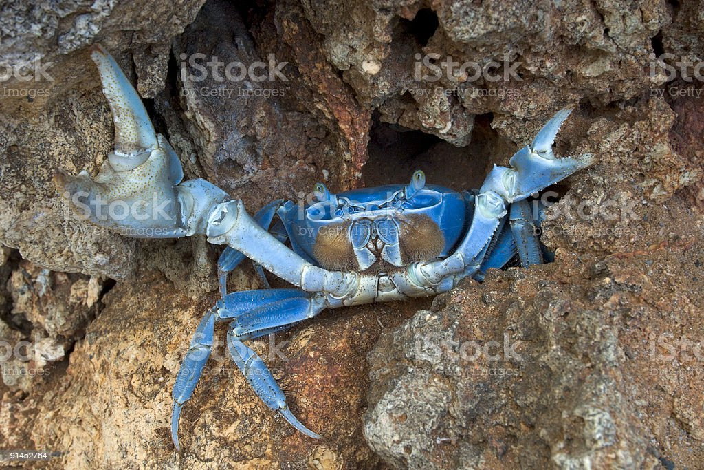 Blue Crab in Defensive Stance stock photo