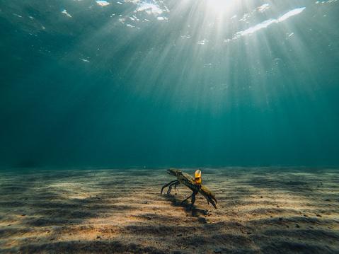 Blue Crab Underwater