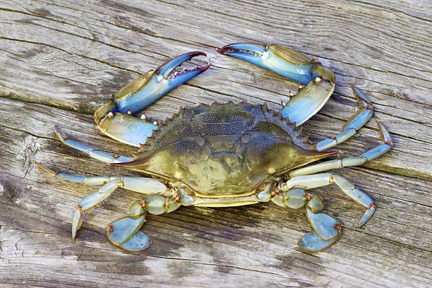 blue crab on pier - blauwe zwemkrab stockfoto's en -beelden