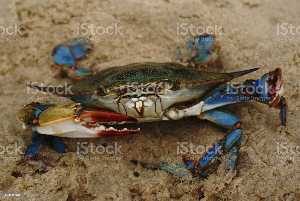 Blue Crab on Sand Posing for Selfie stock photo