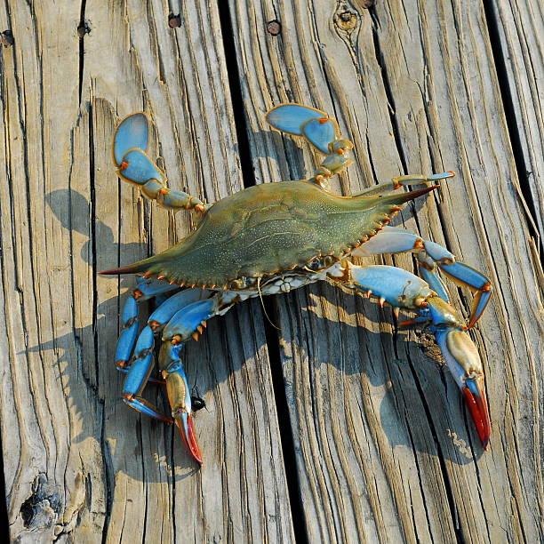 blue crab - blauwe zwemkrab stockfoto's en -beelden