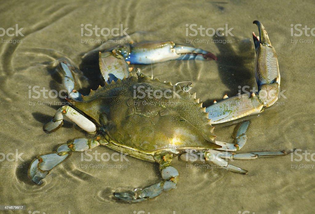 Blue Crab Lizenzfreies stock-foto