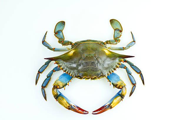 blue crab - krabba bildbanksfoton och bilder