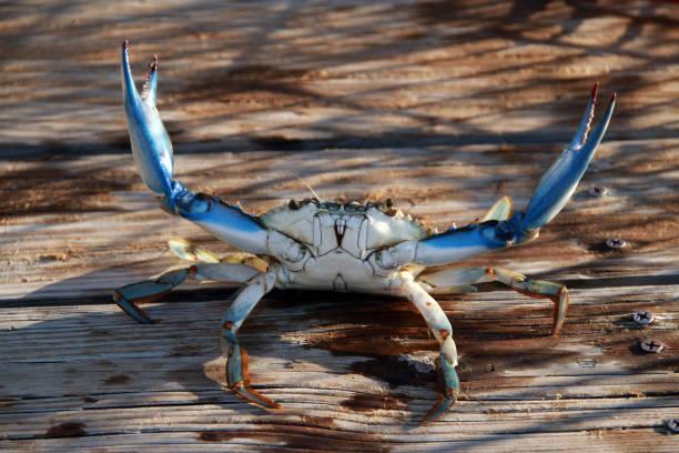 blauwe krab - blauwe zwemkrab stockfoto's en -beelden