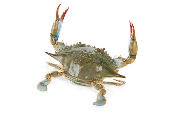 blue crab sitting on white background - blauwe zwemkrab stockfoto's en -beelden