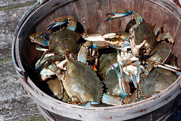 blue crabs in wooden bushel bucket - blauwe zwemkrab stockfoto's en -beelden