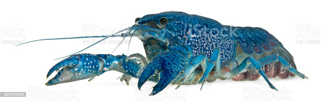 Blue crayfish also known as a Blue Florida Crayfish stock photo
