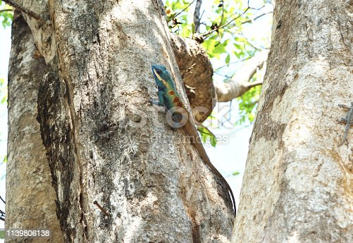 Blue crested lizard ( Calotes mystaceus) climbing on tree trunk in forest, Thailand