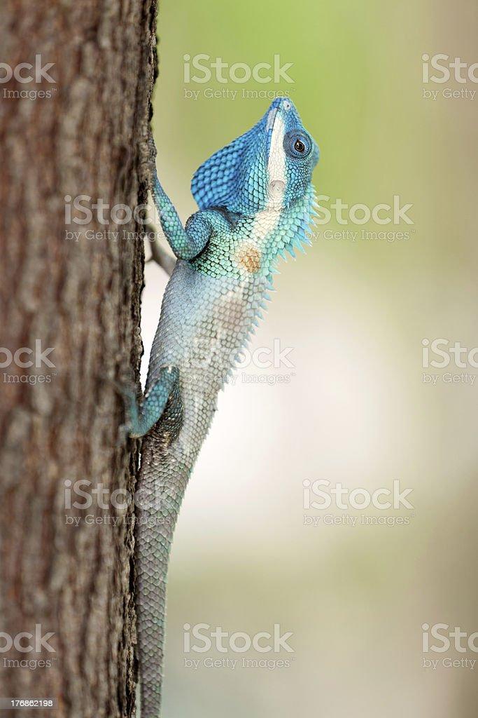 blue crested lizard stock photo
