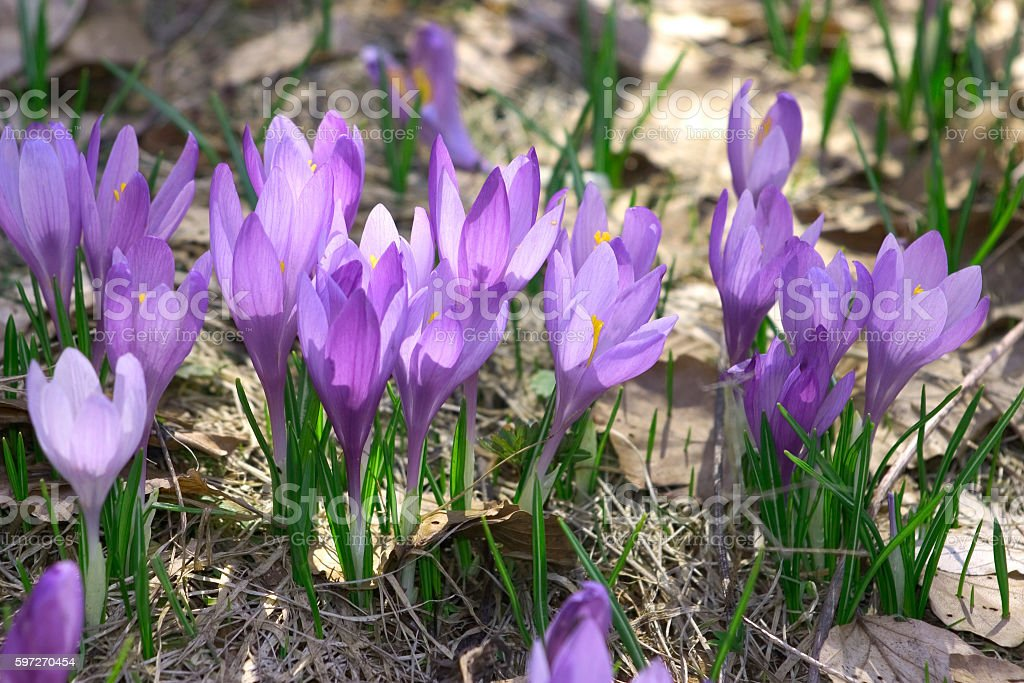 blue crocuses royalty-free stock photo