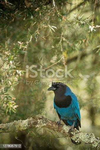 View of a azure jay (Cyanocorax caeruleus) (Portuguese: Gralha-azul) is a passeriform bird of the crow family, Corvidae