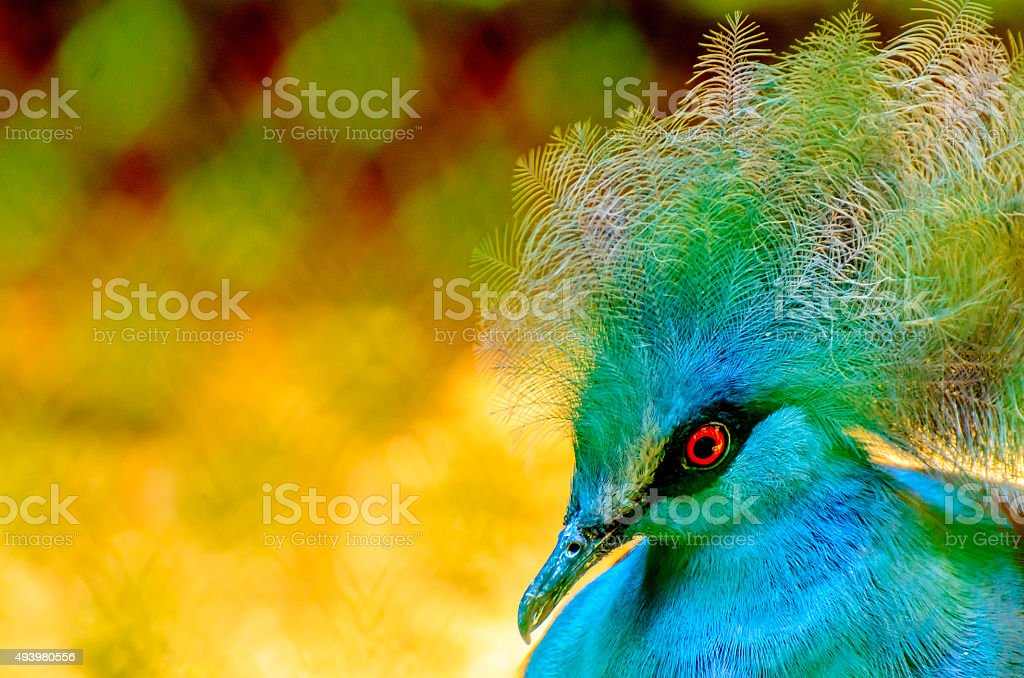 Blue Crowned Pigeon (Goura Cristata) stock photo