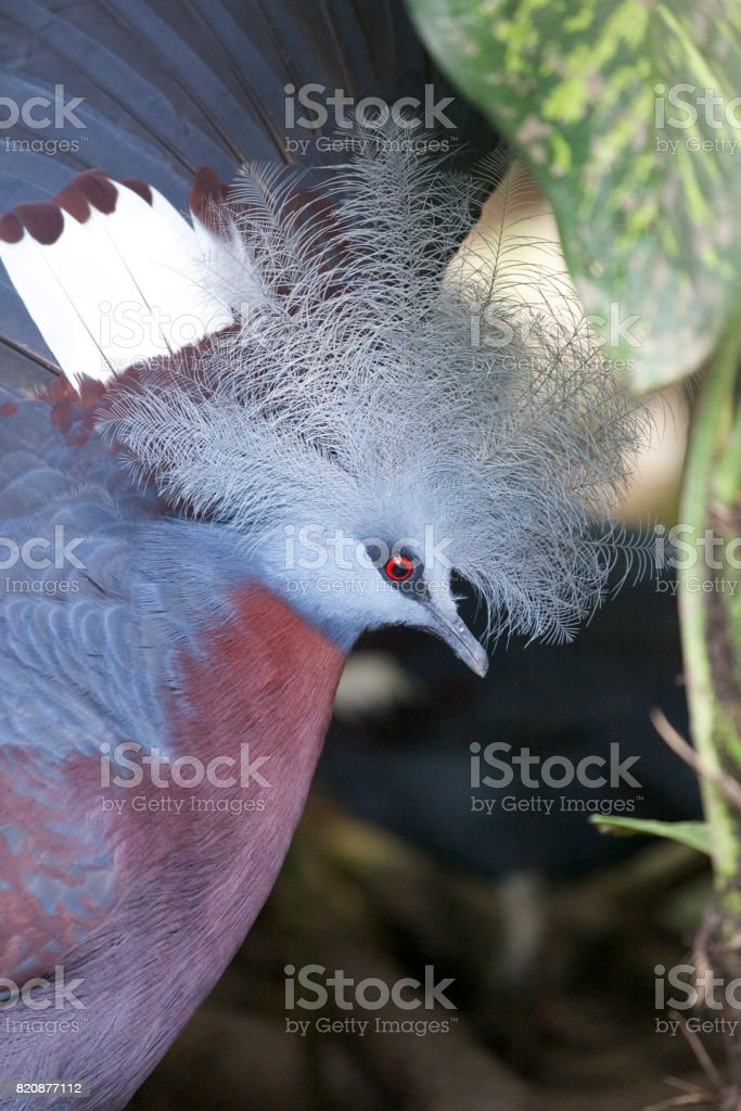 Blue Crowned Pigeon stock photo