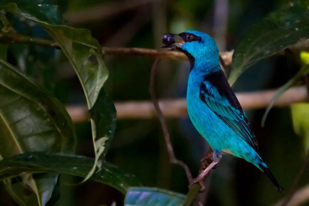 Dacnis-Sái Azul - Dacnis Cayana blau – Foto