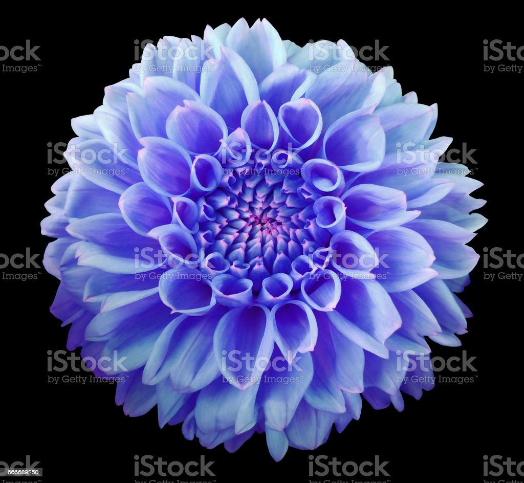 Blue Dahlia Flower Black Background Isolated With Clipping Path
