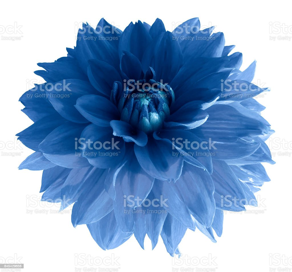 Blue dahlia flower isolated on white background with clipping path.  Closeup no shadows.  Nature. stock photo