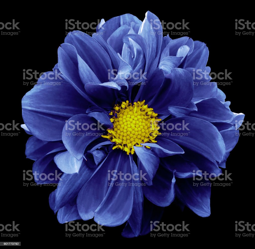 Blue Dahlia Flower On The Black Isolated Background With Clipping
