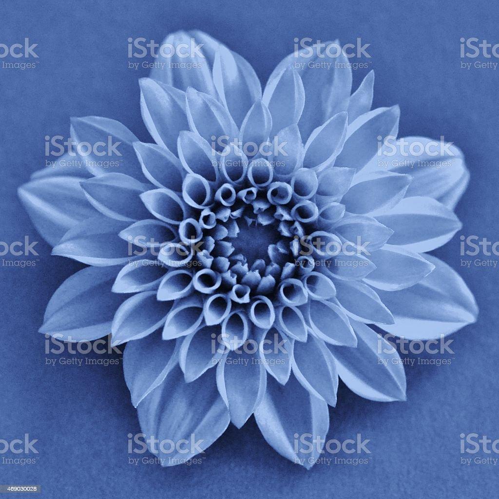 Blue Dahlia Flower stock photo