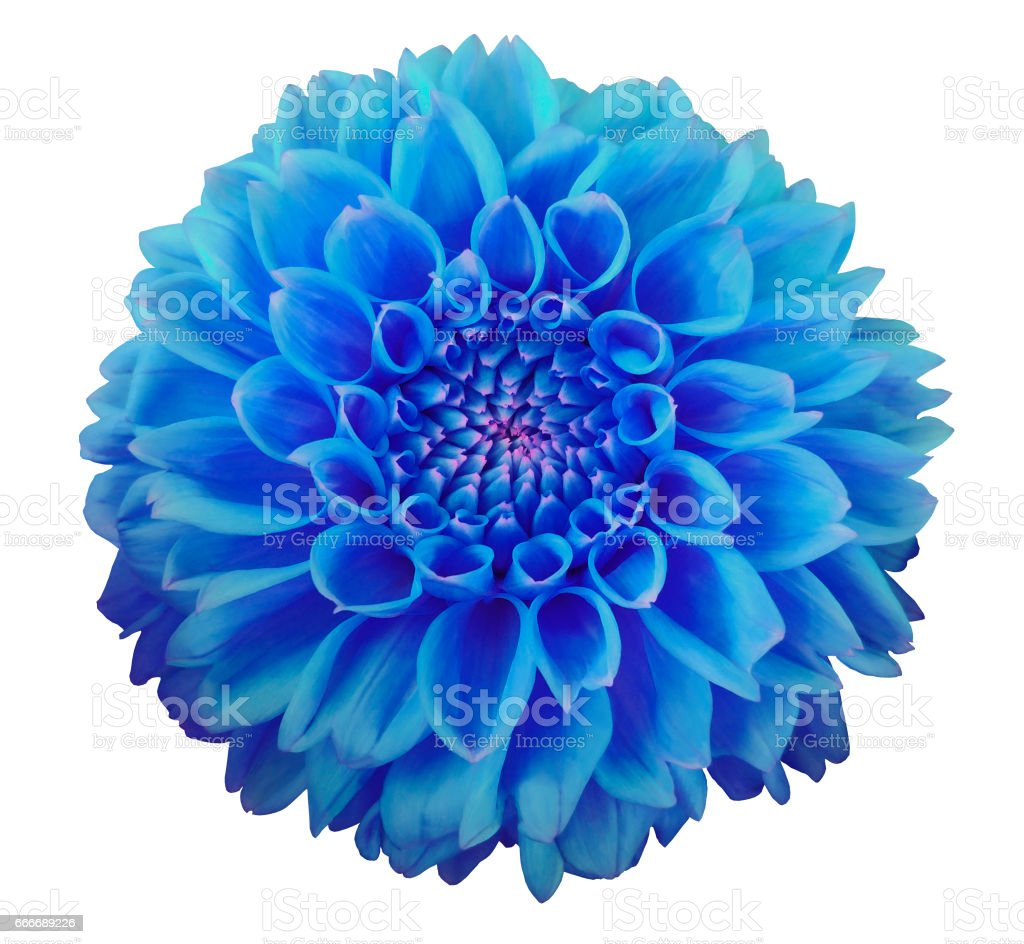 Blue Dahlia Flower White Background Isolated With Clipping Path