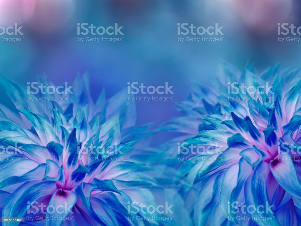 blue dahlias flowers. blurred turquoise-blue background.  Bright floral composition. card for the holiday.  Nature.'n stock photo